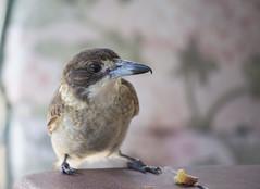 Butcherbird (Igor Serikba) Tags: morning bird canon bread table tea crumbs bucherbird telefocus 100300f56l