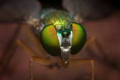 Long Legged Fly (Condylostylus sipho) (Douglas Heusser) Tags: macro green nature canon insect lens photography fly photo compound wings eyes long metallic wildlife flash tubes extension 24mm reversed diffuser legged arthropod kenko sipho condylostylus heusser graslon
