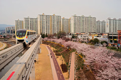 What I see, when the cherry blossoms bloomed in Daegu. (thinklogically) Tags: spring gimp korea mc bloom ddr cherryblossom flektogon monorail manualfocus daegu line3 carlzeiss    carlzeissjena manuallens 35mmf24 springcolor 3 filmsimulation rawtherapee dongcheon sonya7