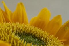sunflower #1 (maria_logak) Tags: macro nikon sunflower macrolens