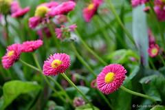 Neugierig in die neue Woche (Sockenhummel) Tags: pink fuji balkon finepix fujifilm blume blte frhling gnseblmchen bellisperennis balkonkasten xt10 fujixt10
