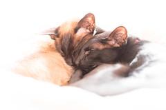 Their favorite activity (DavidS_UK) Tags: cats cat orientalshorthair sleep siamesecat siamese ears oriental sealpoint moggie meezer orientalcat blackcat4