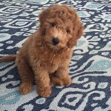 Shasta's Oliver at 10 weeks!