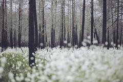 IMG_8317 (L) Tags: flowers trees canon forrest deadtrees forrestfire burnedtrees vsterfrnebo 7020028lisii eos5dmkiii hlleskogsbrnnan