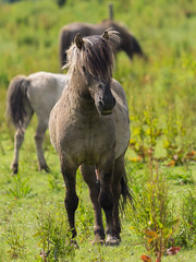 P6190117 (Rebecca_Wilton) Tags: summer horse netherlands europe wildlife nederland olympus stallion paard em1 2016 oostvaarderplassen konikhorse zuikodigital50200mm