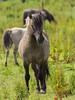 P6190117 (Rebecca_Wilton) Tags: summer horse netherlands europe wildlife nederland olympus stallion paard em1 2016 oostvaarderplassen konikhorse zuikodigital50200mm