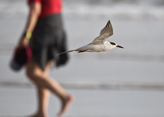 On the beach  Sur la plage (Chizuka2010) Tags: 5x7 tern bird birdinflight forsterstern onthebeach surlaplage daytonabeach florida floride plage bif bokeh dof chizuka2010 luciegagnon