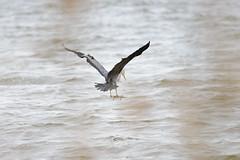 Gone fishing (1/2) (derliebewolf) Tags: heron nature water reflections de deutschland waves dof bokeh wildlife natur birding birdsinflight vgel mecklenburgvorpommern greyheron reiher d600 loddin sigma150600c