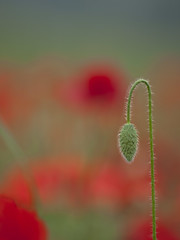 Attend son tour -*--- - (Titole) Tags: bud poppies poppy titole red nicolefaton bokeh herowinner thechallengefactory