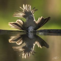 time for swimming (AYMAN-ALKANDERI) Tags: bird animal ou kuwait ayman كويت طير طيور hungari ايمن المجر alkanderi الكندري alkandari هنقاريا