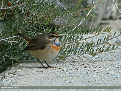 Bluethroat (Luscinia svecica) (gilgit2) Tags: pakistan birds fauna canon geotagged wings wildlife feathers sigma tags location species category avifauna lusciniasvecica borit gojal bluethroatlusciniasvecica gilgitbaltistan sigma150500mmf563apodgoshsm imranshah canoneos70d gilgit2