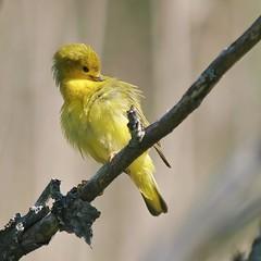Yellow Warbler Preening, Gisland Farm (Bill Bunn) Tags: maine falmouth yellowwarbler