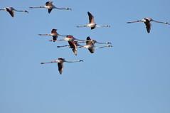DSC_6030 (Ferraris Clemente) Tags: sardegna uccelli pinkflamingo cannigione fenicotteri stagno costasmeralda fenicotterirosa lapunga