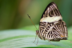 grace (Armin Hofen) Tags: macro butterfly bug insect mosaic makro insekt schmetterling coloburadirce zebramosaic dircebeauty