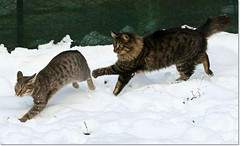 Winter games    (Simply Viola) Tags: cats animals kittens felini gatti animali gattini