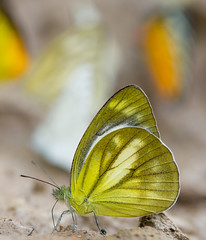 Untitled (thai-on) Tags: nature butterfly thailand nationalpark nikon d3 phetchaburi