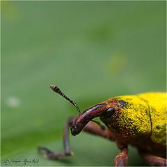 IMGP9952 (Jack O'Donate) Tags: curculionidae tamronspaf90mmf28dimacro coléoptères rhynchites charençon routedelatrace pentaxk5 ileomus