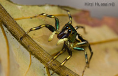 Cosmophasis sp. (Zeen.) Tags: macro nature golden spider jumping rainbow natural arachnid jumper zeen salticidae umbratica cosmophasis elitebugs