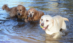 Labrador Billy wins again DSC_8151 (Mary Bomford) Tags: pet animal goldenretriever labrador labradorretriever tennisball rescuedog dogrescue dogsplaying companionanimal murrumbidgeeriver dogretrieving labradorrescue