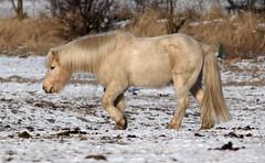 More winter horses - IMG_1483ab (Ablume - back on naturewatch) Tags: winter horse snow pferd hest icelandic farum alfblumehotmailcom funfanphotos