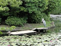 DSC02217 (Christian Kaden) Tags: japan kansai kioto kyoto ryoanji tempel temple