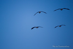 40/366 - Birds against Blue Sky - Freedom to Fly (Siva Viswanathan) Tags: winter light shadow sunlight snow birds canon rebel one geese year perspective challenge t3i oneyearchallenge