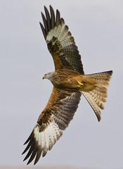 Red kite caught in Brecon - Explored! (Craig Nicolson) Tags: red kite bird animals wales nikon wildlife explore prey nikkor brecon 70300 explored birdperfect d3100