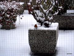 un pettirosso ... non fa primavera (guendaeio (orasoloio)) Tags: snow robin hiver neve inverno winther pettirosso nikocoolpix610s