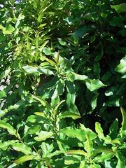 Macadamia integrifolia 2 (barryaceae) Tags: forster australianrainforestplants australian rainforest plants species new south wales australia ausrfps proteaceae order proteales