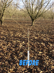 3112 filbert pruning (growing hazelnuts) Tags: pruning filberts