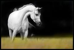 Arabian Horses (HANI AL MAWASH) Tags: art animal photo al kuwait hani  1color artphoto      animalkingdomelite mywinners  colorphotoaward aplusphoto kuwaitphoto   almawash almwash kuwaitartphoto kuwaitart  mawash