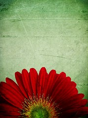 Early Signs of Spring (Liam Tandy) Tags: flower texture gerbera iphone4 scratchcam
