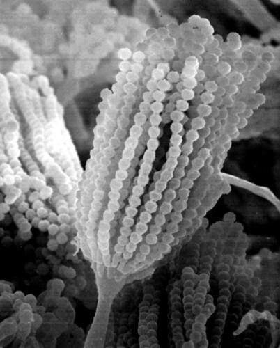 Aspergillus conidiophor
