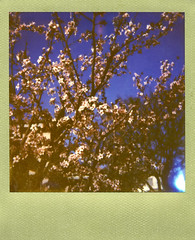 Flowering Plum (Nick Leonard) Tags: city pink vegas flowers blue sky tree film nature floral polaroid outside outdoors spring lasvegas branches nevada nick scan landcamera floweringplum polaroidlandcamera instantfilm goldframe epson4490 polaroidsun660 colorshade integralfilm nickleonard theimpossibleproject px680 believeinfilm goldframeedition