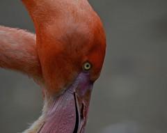 Flamingo (EXPLORED) (Lisa Karloo (Off, why bother?)) Tags: pink bird eye nature zoo wildlife flamingo mygearandme peregrino27life