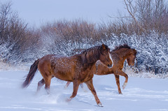 Dashing Through the Snow (C-Dals) Tags: winter sky horse snow ice nikon morgan nikkor sh6 70300mmf4556gvr d5100