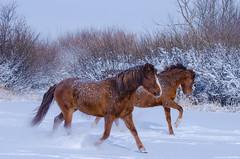 Dashing Through the Snow (C-Dals) Tags: winter sky horse snow ice nikon morgan nikkor sh6 70300mmf4556gvr d5100