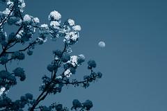 Moon Over Crabapple