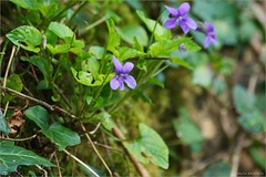 Early Dog-violets (bbusschots) Tags: ireland flower macro violet carton wildflower viola maynooth kildare dogviolet violareichenbachiana earlydogviolet cartonestate