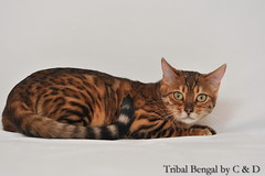 I'm Pandora ! (C & D Photo) Tags: roses glitter branches greeneyes whitebackground leopard pandora bengal bengalcats studiophoto bois bagheera tabbycats yeuxverts gorgeouscats fondblanc brownspotted photopro professionalpetphotography catswithgreeneyes cndphotos cndphoto chatsbengal tribalbengal glitterglambagheera glitterglampandora