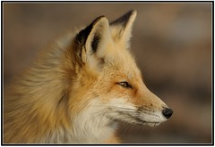 Red Fox in Profile [Explored] (Mark Schwall) Tags: portrait mammal newjersey profile nj fox oceancounty redfox islandbeachstatepark specanimal
