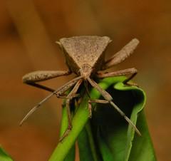 Leaf-footed Bug (Mictis tenebrosa) (John Horstman (itchydogimages, SINOBUG)) Tags: insect macro china bug hemiptera coreidae true itchydogimages coreoidea entomology
