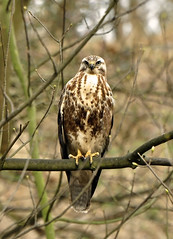 Common Buzzard < Blondie > - Explored - (Wouter's Wildlife Photography) Tags: bird nature wildlife buzzard predator birdsofprey buteobuteo buizerd roofvogel supershot westduinpark specanimal avianexcellence mygearandme mygearandmepremium blinkagain dblringexcellence tplringexcellence eltringexcellence allofnatureswildlifelevel1 allofnatureswildlifelevel2 exploredmarch18th2012