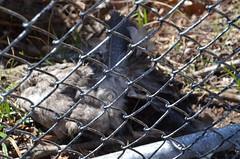 DSC_0014 (rlg) Tags: bird animal 30 dead march gull friday juvenile 2012 herringgull 0330 fpr 201203 nikond5100 03302012 20120330