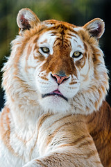 Melancholic golden tiger