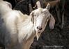 Cabra (EdgardMedina) Tags: portrait argentina animal ruta canon retrato goat blanca alta cabra salta norte noa tilcara argentino calidad compacta canonpowershotsx110is