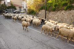 28 March, 18.32 (Ti.mo) Tags: road italy iso100 italia sheep farming sheepdog abruzzo 36mm pacentro 0ev secatf40 e24mmf18za