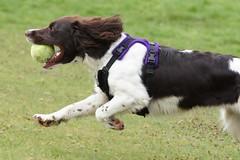 Bullet (Miss Naralie) Tags: dog white ball lola spaniel springer springerspaniel cocker cockerspaniel liver fetch sprocker tamron70200f28 sonya33