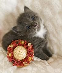 20080809_8075b (Fantasyfan.) Tags: baby flower cute hat animal topv111 cat pose furry topv555 topv333 kitten topv1111 small topv999 adorable fluffy stare topv777 sena fantasyfanin highqualityanimals siirretty