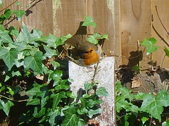 Robin sunbathing (Krista Godfrey) Tags: robin garden post ivy sunbathing